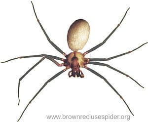 Brown Recluse S In My Bedroom