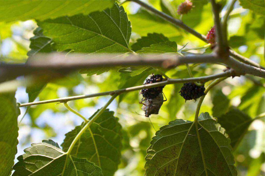 stinkbug-on-mulberry