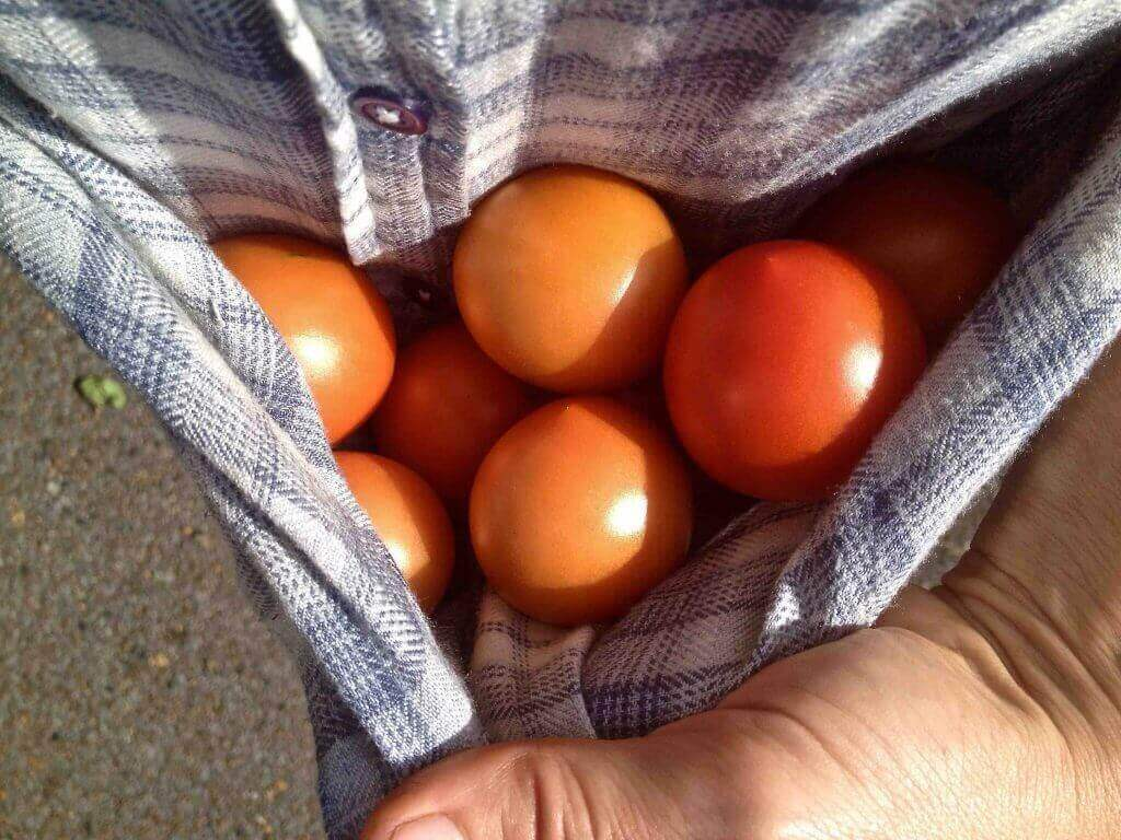 tomatoes-in-shirt-tail